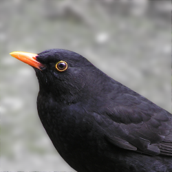 Blackbird (male) by Tony Wills. Licensed under CC BY 2.5 via Wikimedia Commons.